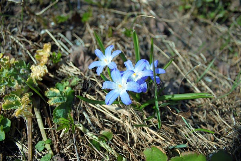 Blüht blaues Scylla lizenzfreies stockfoto
