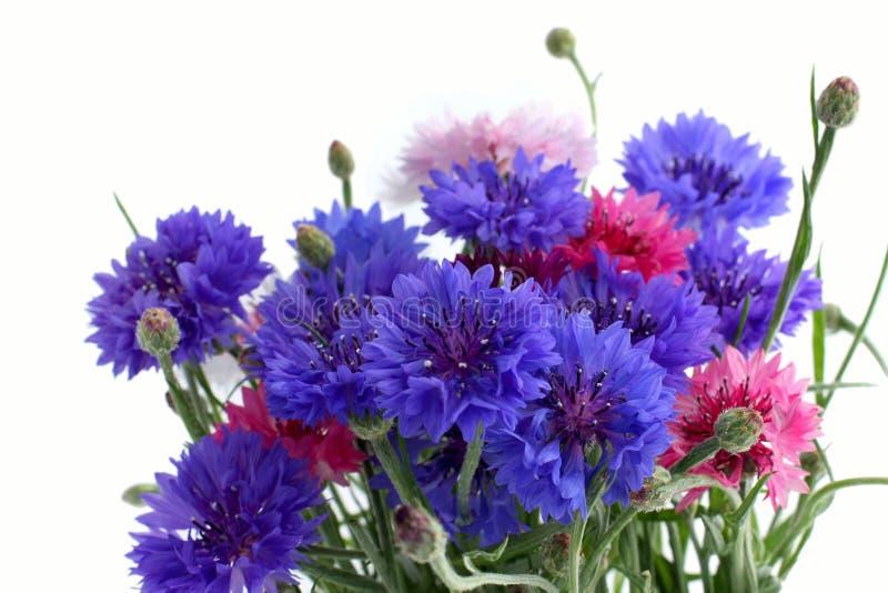 Blüht Cornflowers lizenzfreies stockfoto