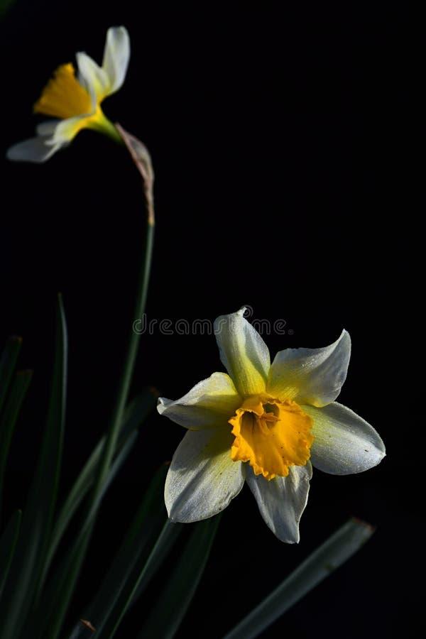 Blüht gelbe wilde Narzisse zwei Narcissus Pseudonarcissus in der vollen Blüte auf dunklem Hintergrund lizenzfreie stockfotografie