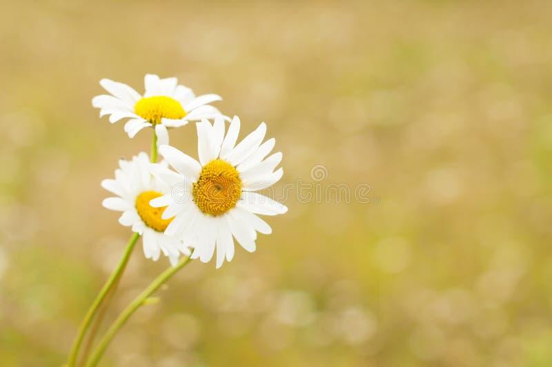 Blüht Kamille gegen unscharfen gelben Hintergrund lizenzfreie stockbilder