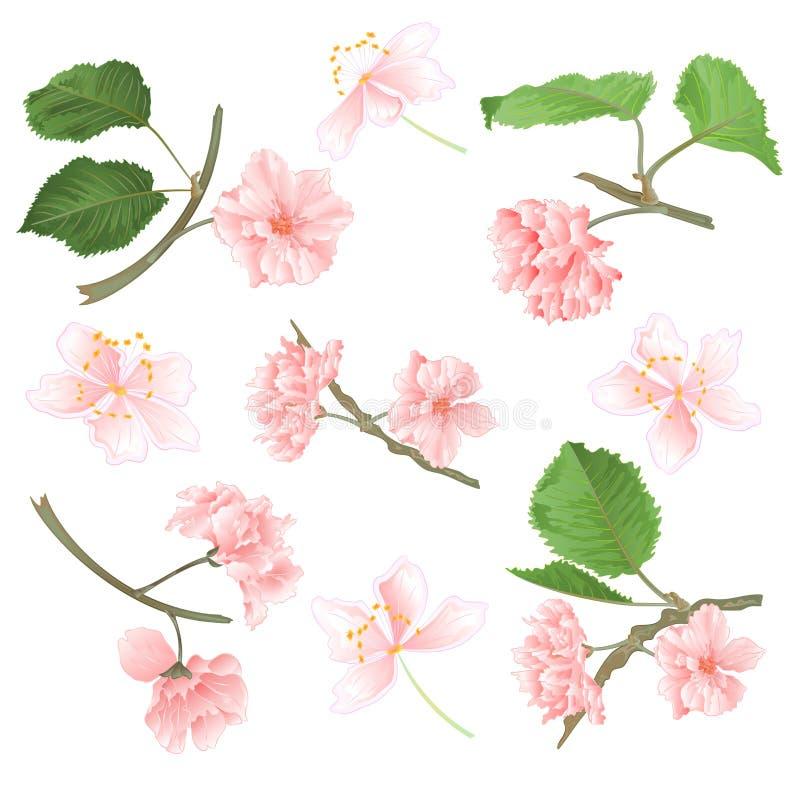 Blüht Kirschblüte eingestellt auf eine natürliche Illustration des weißen Hintergrundweinlese-Vektors editable vektor abbildung