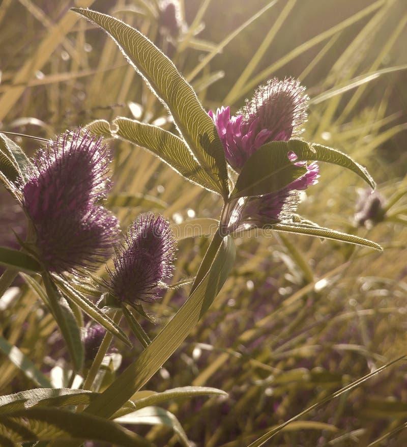 Blüht Klee Schöner mit Blumenhintergrund Violette Blumen blühen in einer Reinigung im Sonnenschein bei Sonnenuntergang an einem S stockbild