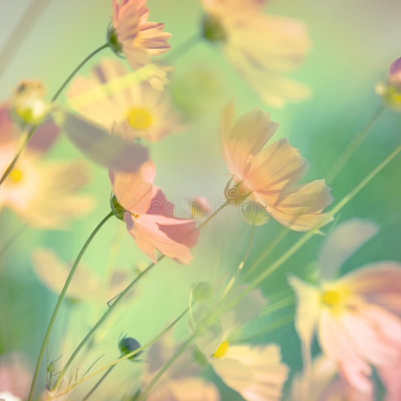Blüht Kosmos lizenzfreies stockfoto