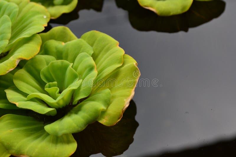 Blüht Lotos in einem Pool stockfoto
