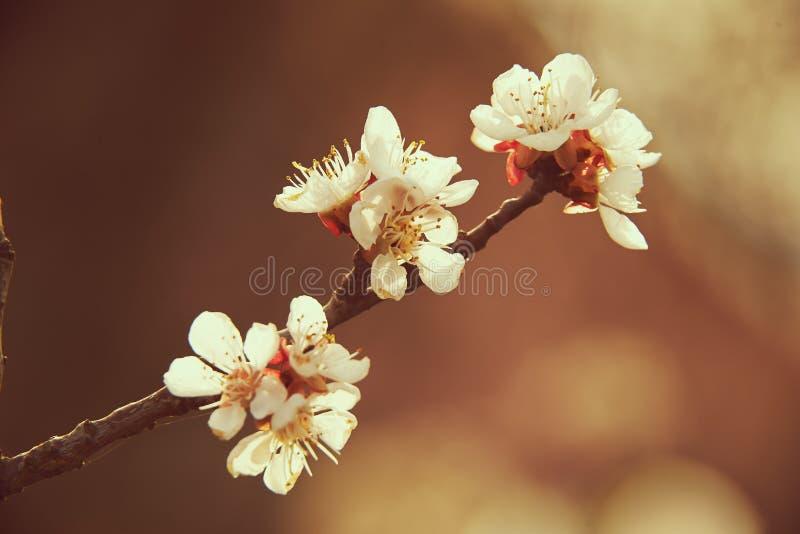 Blüht Obstbaum stockbild