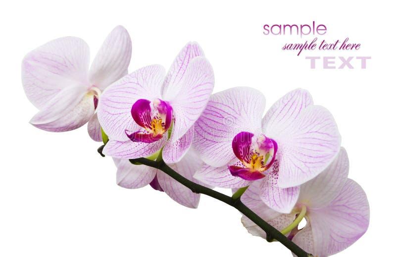 Blüht Orchideen stockbilder