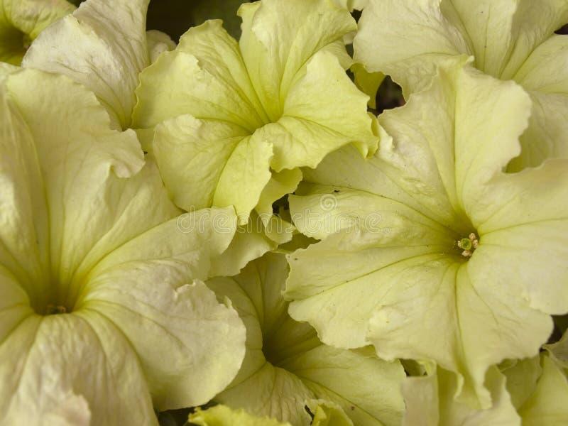 Blüht Petunie lizenzfreie stockfotos