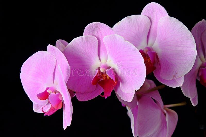 Blüht purpurrote Orchideen auf einem schwarzen Hintergrund lizenzfreies stockbild
