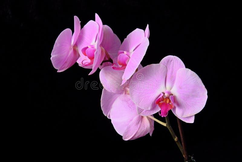 Blüht purpurrote Orchideen auf einem schwarzen Hintergrund stockfotos
