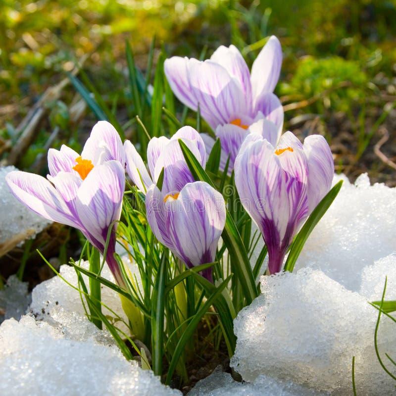 Blüht purpurroten Krokus lizenzfreie stockfotos