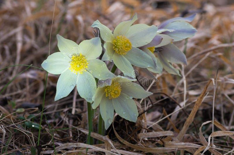 Blüht Schneeglöckchen im Wald im Gras, stockbilder