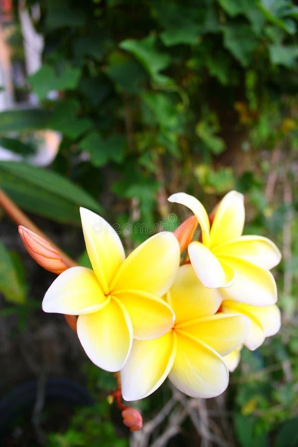 Blüht Thailand lizenzfreie stockfotografie