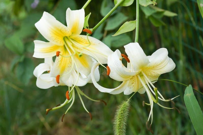 Blüht Tiger Lily Lady Alice Lilium Lady Alice stockbild