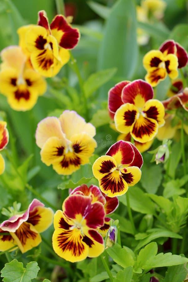 Blüht Viola im Garten stockbild