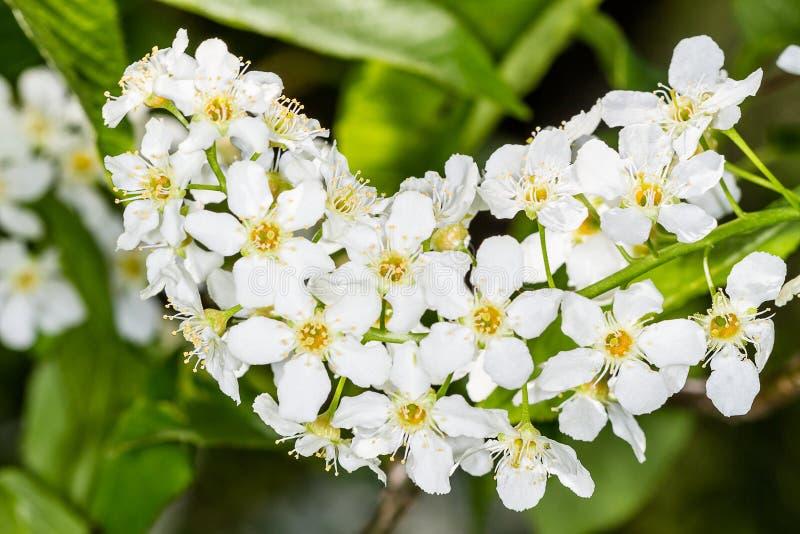 Blüht Vogelkirschbaum lizenzfreies stockbild