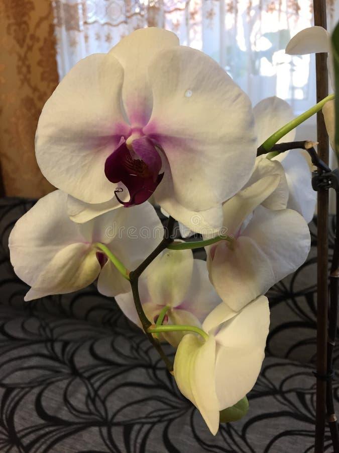 Blüht weiße Orchidee lizenzfreies stockfoto