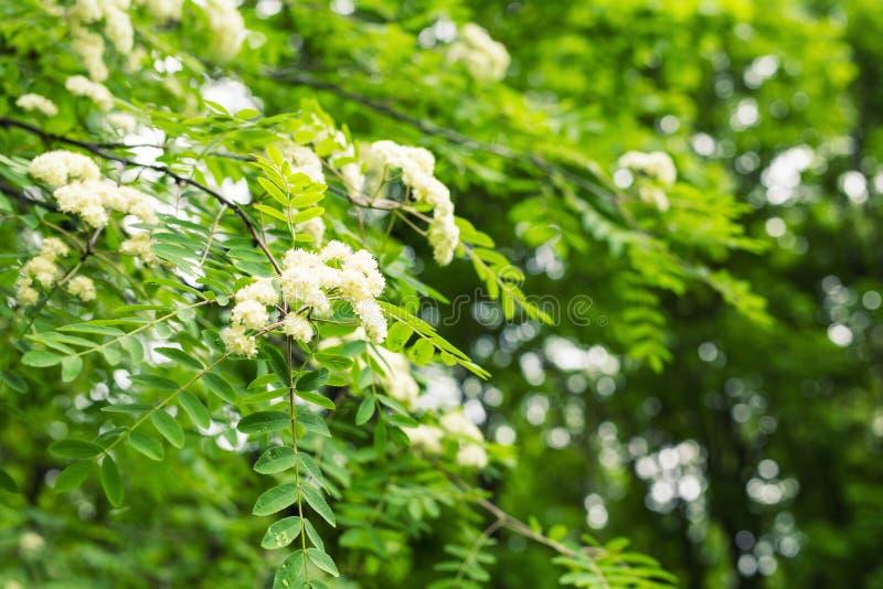 Blüht Zeit Der Eberesche Im Frühjahr Weiße Blumen Der ...