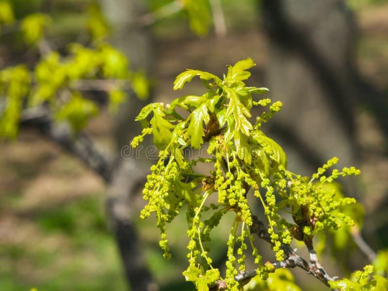 Blüte der englischen Eiche oder der Eiche Robur mit Mann blüht Nahaufnahme, selektiven Fokus, flacher DOF stockfotografie