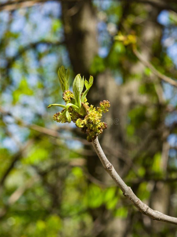 Blüte der europäischen oder allgemeinen Asche, Fraxinushobelspäne, mit bokeh Hintergrundmakro, selektiver Fokus, flacher DOF lizenzfreie stockfotografie