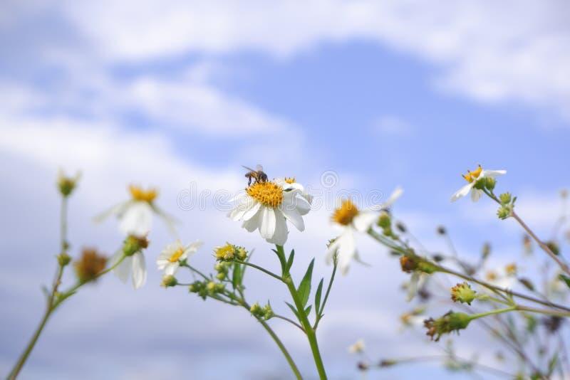 Blüte der weißen Blume des Gänseblümchens in der Natur gegen Hintergrund des blauen Himmels stockfotografie