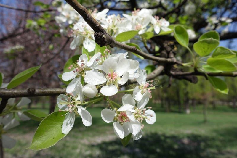 Blüte des Birnenbaums im Frühjahr stockfotografie