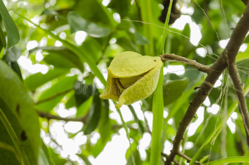 Blüte des Graviola-Baums stock abbildung