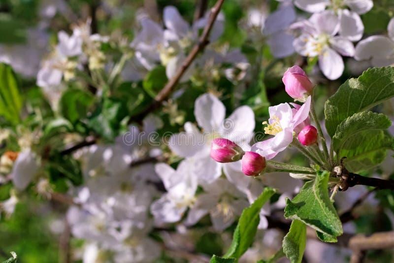 Blüte des Kirschbaums mit Sonnenlicht als dem Zeichen der Frühlingszeit Frühlings-Kirschblüten, weiße Blumen, rosa Blüte sonnig stockbild