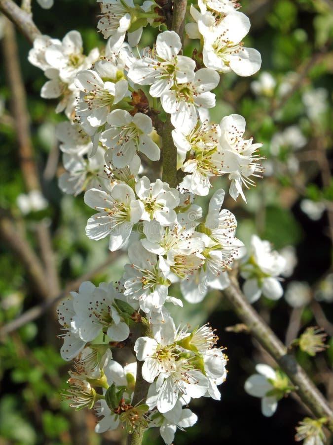 Blüte des wilden Apfels gegen einen grünen Frühlingshintergrund stockfotos