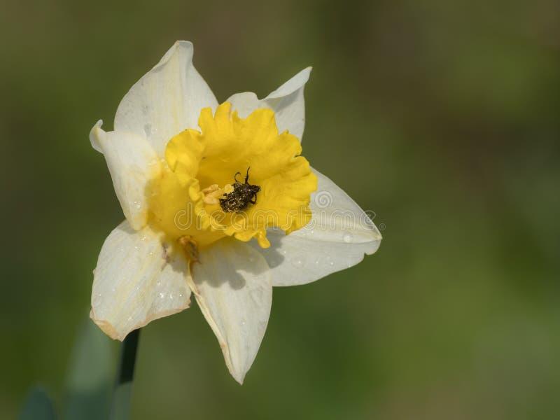 Blüte einer Narzisse an einem sonnigen Tag im Frühjahr lizenzfreie stockfotografie