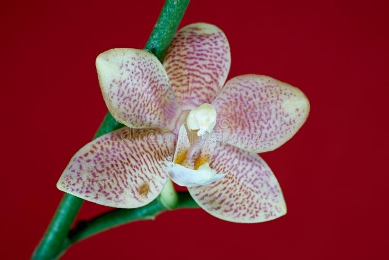 Blüte einer Orchidee stockbilder