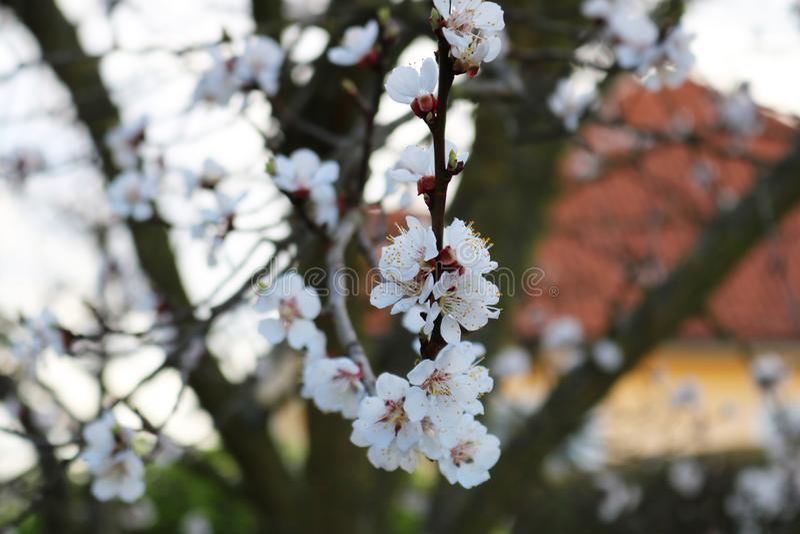 Blüte eines Aprikosenbaums stockfotos