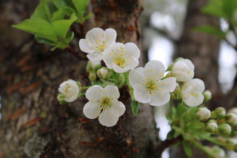 Blüte eines Kirschbaums stockfotografie