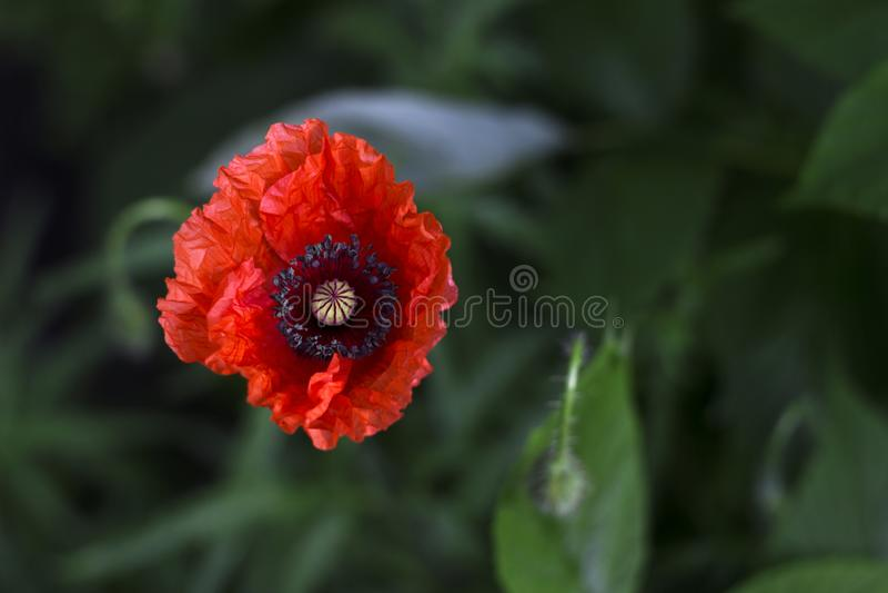 Blüte mit einen rote Mohnblumen im Garten, gegen einen grünen Gemüsehintergrund Rote Blume lizenzfreie stockfotografie