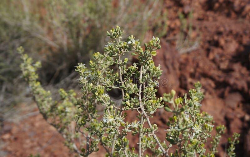 Blüte Nitraria Retusa lizenzfreie stockbilder