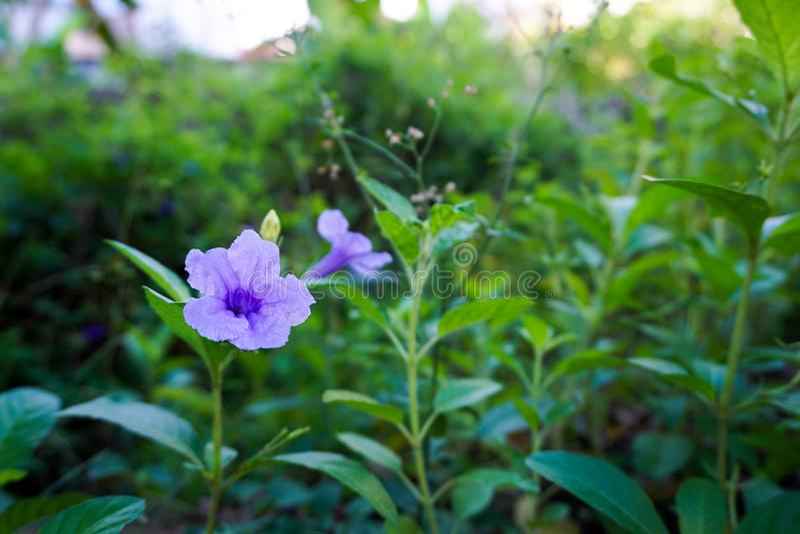 Blüte Ruellia stockbilder