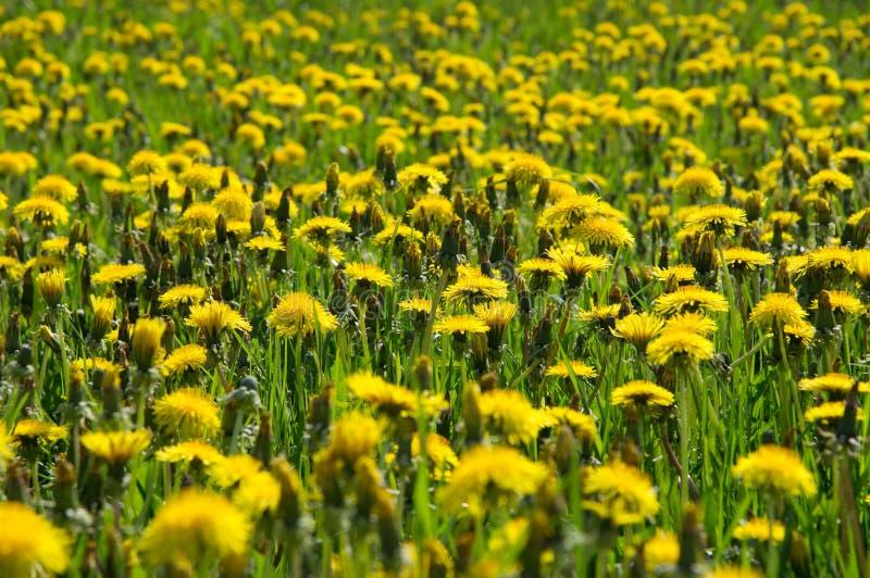 Blüte und geschraubter gelber Löwenzahn auf grüner Wiese lizenzfreies stockbild