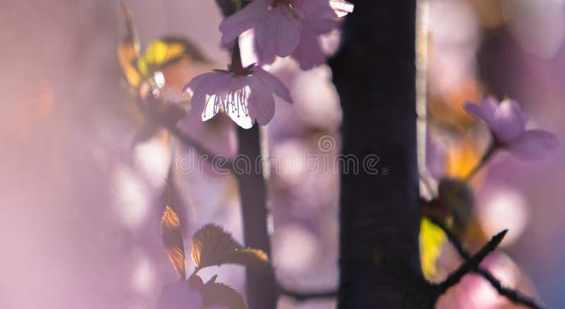 Blüte von Kirschblüte, eine japanische Blüten-Kirsche, an einem sonnigen Morgen stockfotografie