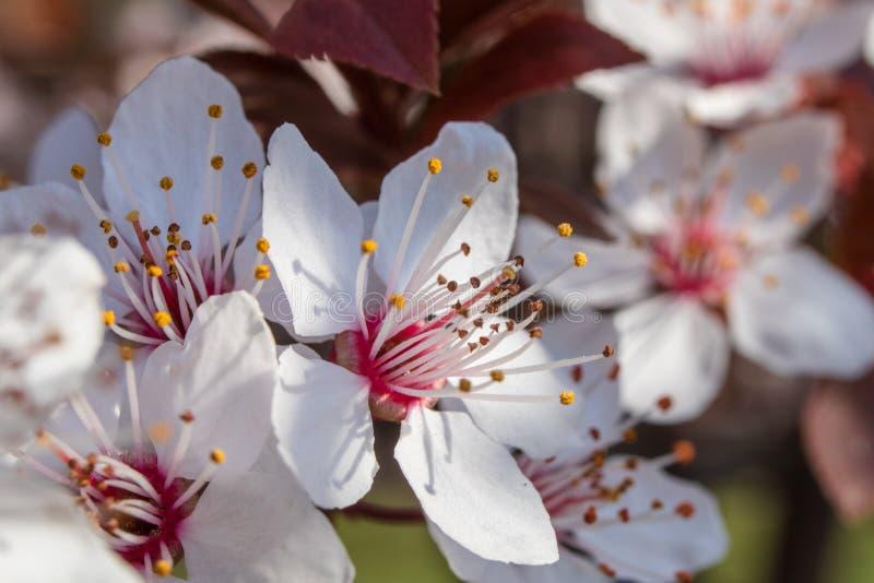 Blüte von Kirschpflaume oder Myrobalanpflaume Prunus cerasifera stockfotos