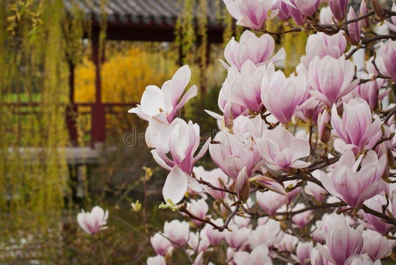 Blüten-Baumblumen der Magnolie rosa, Abschluss herauf die Niederlassung, im Freien lizenzfreies stockbild
