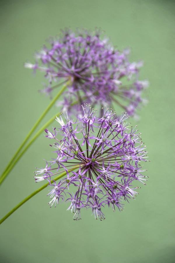 Blüten des wilden Knoblauchs lizenzfreies stockfoto