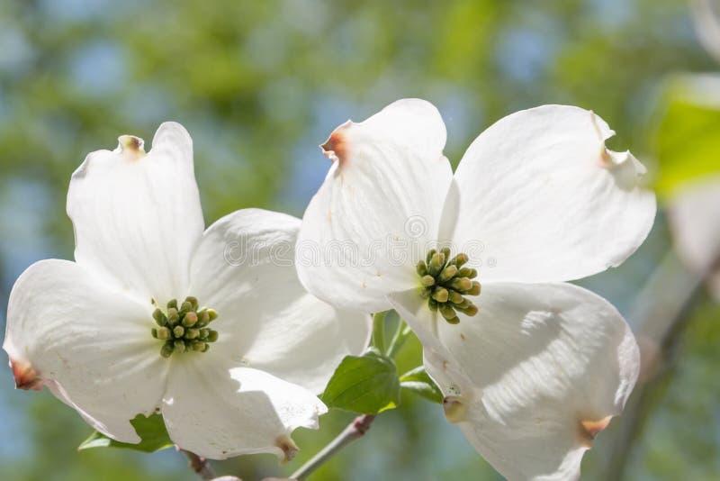 Blüten eines japanischen Hartriegelbusches stockfotos