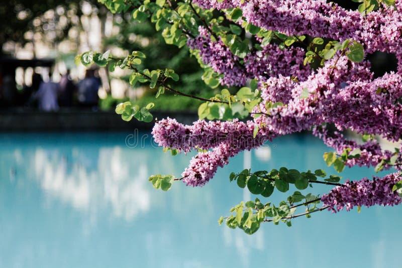 Blüten schönen Rosa Cercis chinensis auf Bäumen mit blauem städtischem Pool der undeutlichen Ansicht lizenzfreies stockbild