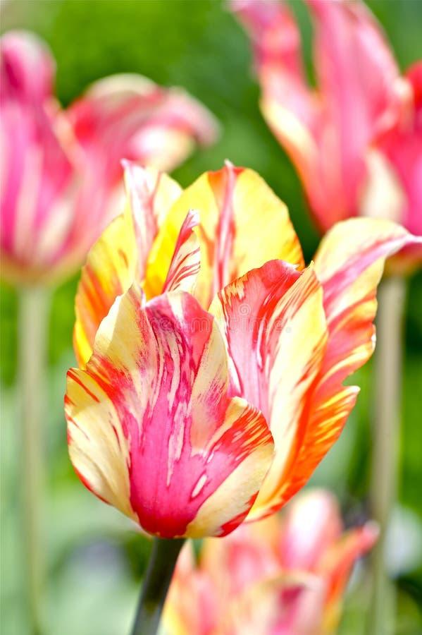 Blüten-Tulpe-Nahaufnahme stockbilder