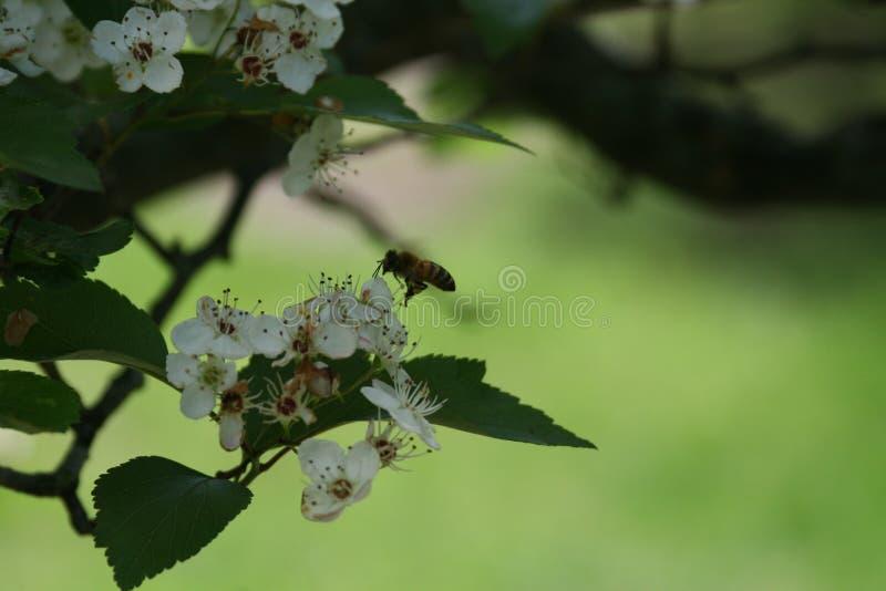 Blüten und Bienen 2019 V lizenzfreie stockfotos