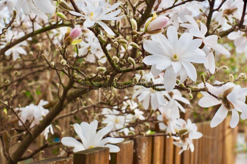 Blütenbaum über Naturhintergrund Gerade ein geregnet Wiese voll des gelben Löwenzahns stockbild