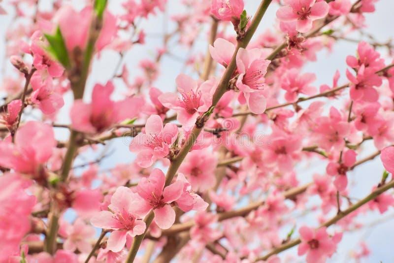Blütenbaum über Naturhintergrund Gerade ein geregnet Wiese voll des gelben Löwenzahns lizenzfreie stockfotos