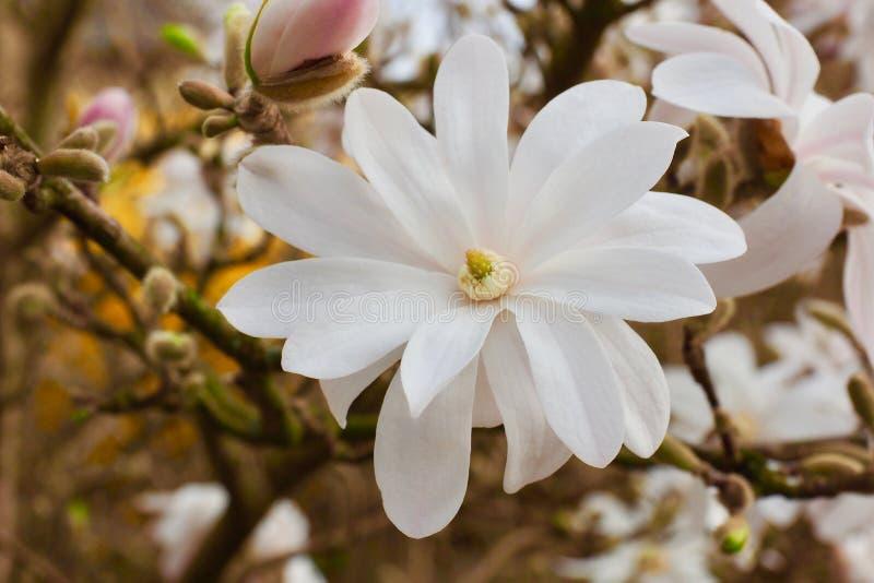 Blütenbaum über Naturhintergrund Gerade ein geregnet Wiese voll des gelben Löwenzahns stockfotografie