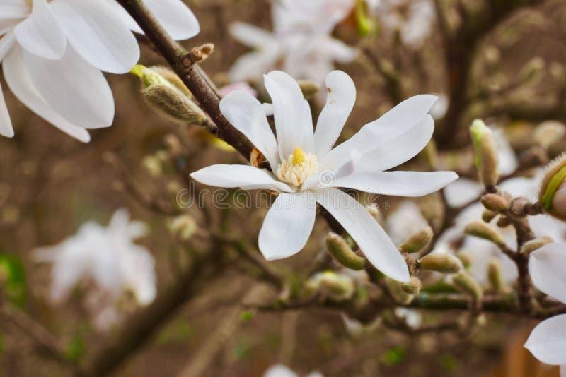 Blütenbaum über Naturhintergrund Gerade ein geregnet Wiese voll des gelben Löwenzahns lizenzfreie stockfotografie