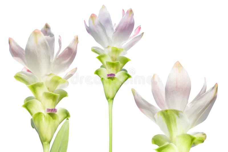 Blütenblütenblütensatz auf weißem Hintergrund isoliert stockfotos