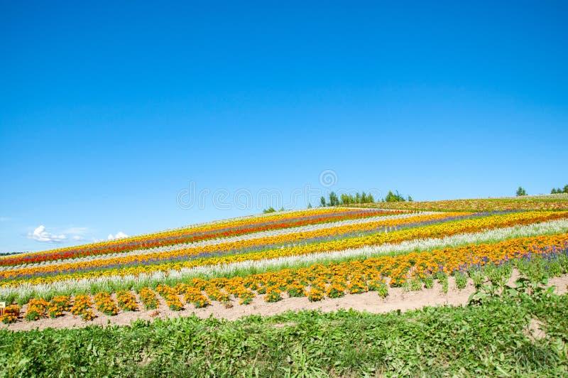 Blütenfarm mit klarem blauen Himmel stockbilder